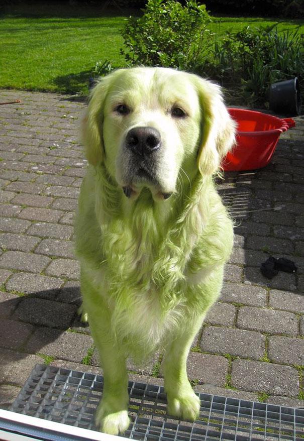 Perro verde con césped recién cortado