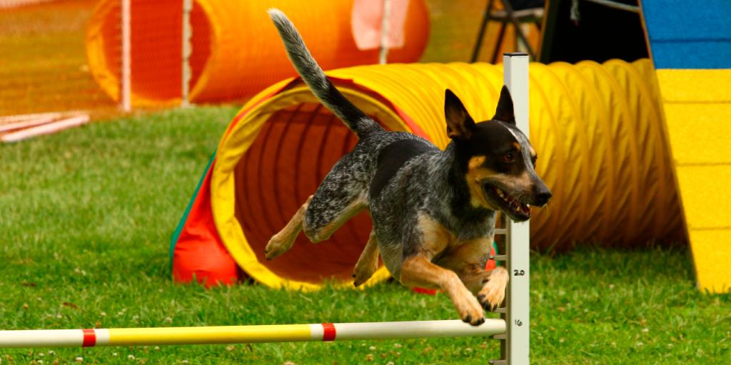 Agility para perros y la importancia de los circuitos caninos