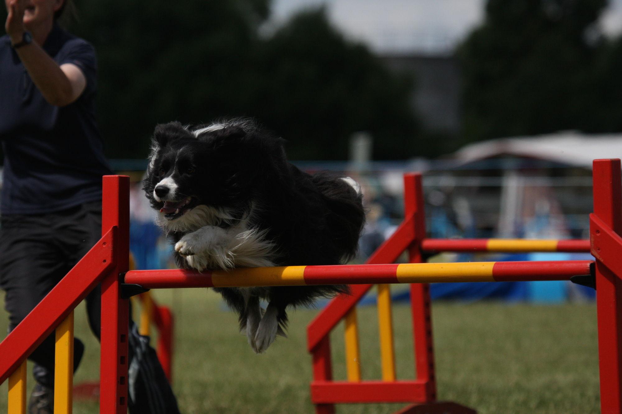 Deportes caninos para realizar con perros de todas las razas, agility y circuitos caninos